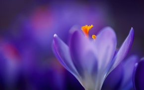 Picture purple, macro, lilac, blur, Krokus