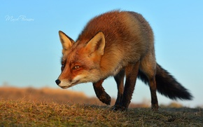 Picture face, Fox, Fox, tricky, sneaks
