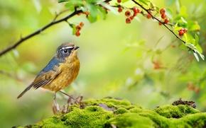 Wallpaper moss, summer, nature, bird, bilobrova Nightingale, branch, berries