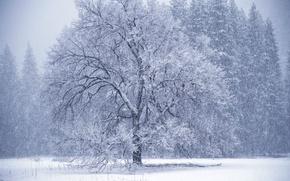 Wallpaper winter, tree, Blizzard