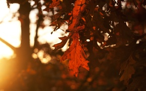 Wallpaper autumn, the sky, leaves, the sun, rays, trees, sunset, Sheet, the evening, leafs, time of ...