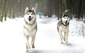 Picture winter, language, dogs, snow, Park, running, husky, Laika
