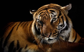 Picture tiger, predator, black background, wild cats