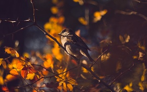 Picture autumn, leaves, branch, Sparrow, bokeh, dobraatebe