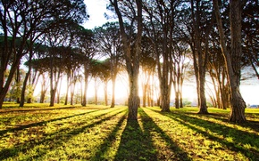 Picture FOREST, The SUN, LIGHT, TREES, RAYS, DAWN, TRUNKS, MORNING