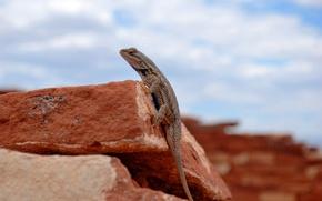 Picture stones, lizard, Sandstone