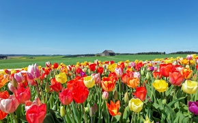 Picture field, the sky, grass, the sun, landscape, tulips, house