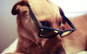 Picture LOOK, GLASSES, DOG, GLASSES