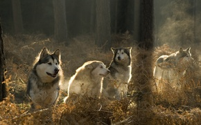 Wallpaper the sun, dogs, forest