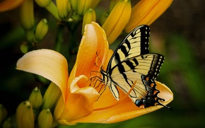 Picture flower, butterfly, Lily, petals, insect, moth