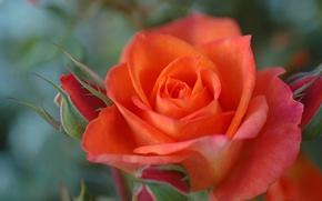 Picture macro, rose, petals, buds, bokeh