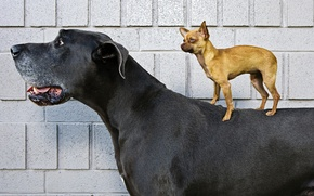 Picture dogs, large, Chihuahua, little, Yorkshire Terrier, dog