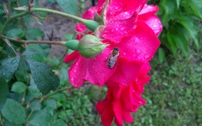 Picture summer, droplets, rain, rose, Bee