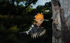 Picture bird, chick, lunch, hoopoe