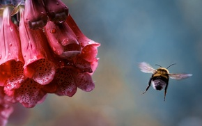 Wallpaper flower, drops, macro, flight, Rosa, insect, bumblebee