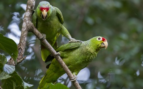 Picture forest, birds, branch, parrot, pair