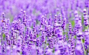 Wallpaper field, nature, plant, meadow, lavender