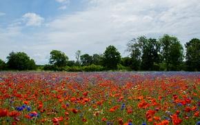Picture field, summer, Maki, Sweden, cornflowers, Kalmar, Farjestaden