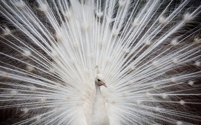 Picture white, feathers, peacock