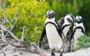 Picture birds, penguins, company