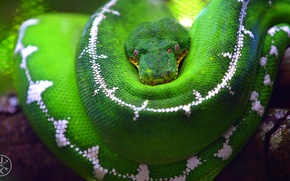Picture macro, green, tree, snake, branch, scales, Python, blur, u137
