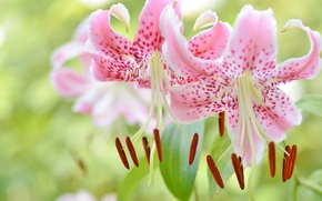 Wallpaper macro, Lily, petals, stamens, Lily lovely