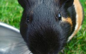 Wallpaper Guinea pig