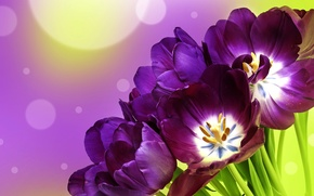 Picture background, purple, tulips, flowers, tulips, bokeh