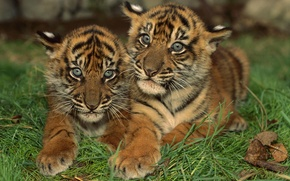Picture Striped, The cubs, Small