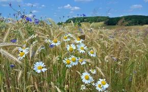 Picture field, the sky, trees, flowers, butterfly, Daisy, ears