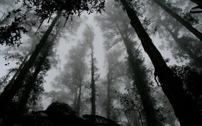 Picture forest, trees, leaves, fog, black and white, b/w, contrast