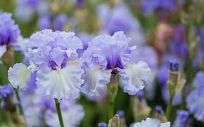 Wallpaper macro, spring, irises