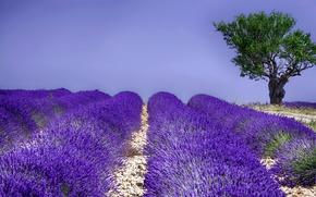 Picture field, summer, tree, flowering, lavender