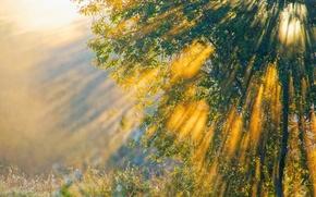 Wallpaper rays, light, nature, tree, morning