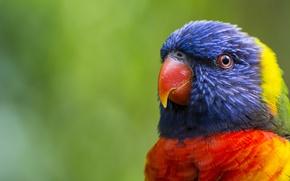 Picture greens, bird, head, feathers, beak, blur, parrot, color, colorful, multicolor lorikeet