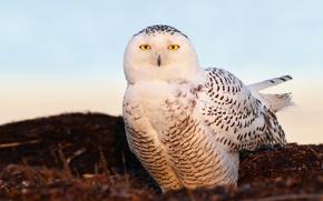 Picture eyes, light, bird, snow owl, snowy owl