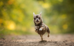 Picture dog, running, Chihuahua, bokeh, doggie