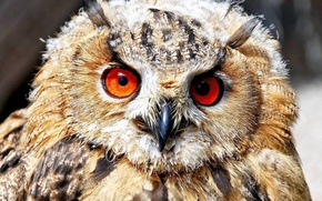 Picture owl, bird, feathers, beak