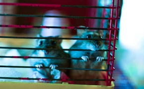 Picture cell, Hamster, rodent
