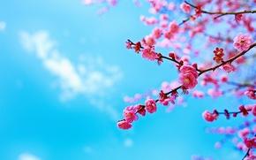 Wallpaper the sky, tree, branch, spring, Sakura, flowering