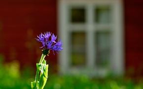 Picture flower, macro, cornflower