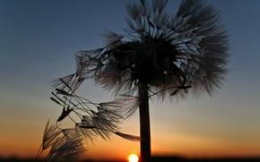 Wallpaper dandelion, The sun, sunset