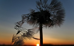 Picture sunset, dandelion, The sun