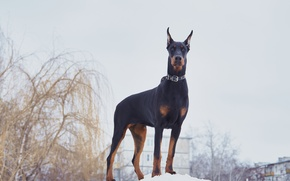 Picture Doberman, ears pricked up.Russia, Russian winter