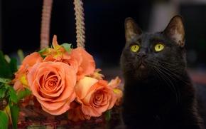 Picture cat, cat, flowers, roses, black cat