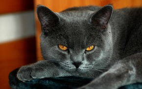 Picture cat, British, yellow eyes, gray color