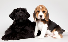 Picture black, puppies, kids, spotted, Beagle