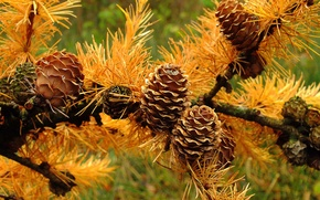 Picture autumn, macro, needles, branch, bump, needles