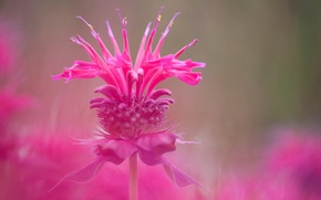 Picture macro, blur, pink, inflorescence