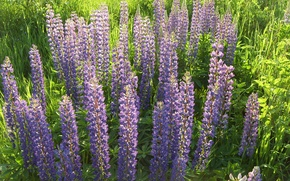 Picture grass, flowers, nature, lilac, plant, Lupin